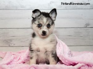 Pomsky Puppies – Why You Need One of These Pups in Your Life!