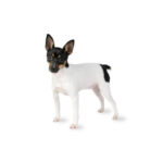 Petland Racine Toy Fox Terrier