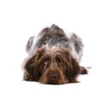 Petland Racine German Wirehaired Pointer