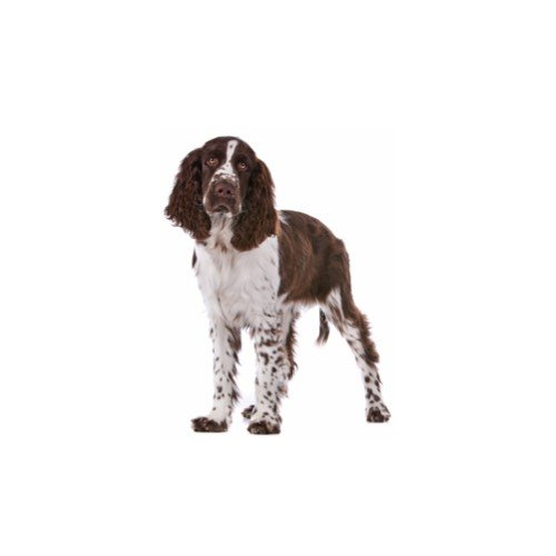 English Springer Spaniel Puppies - Petland Racine, WI