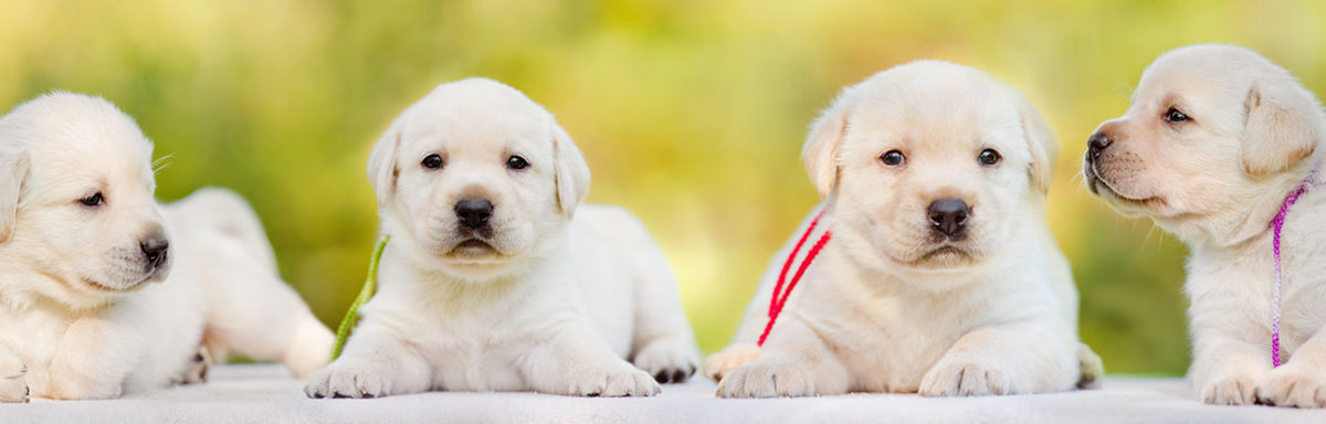 Puppies For A Lifetime