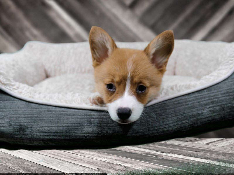 Madison : Corgi puppies for sale wisconsin