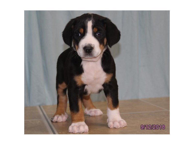 Greater Swiss Mountain Dog Dog Male Black White Red