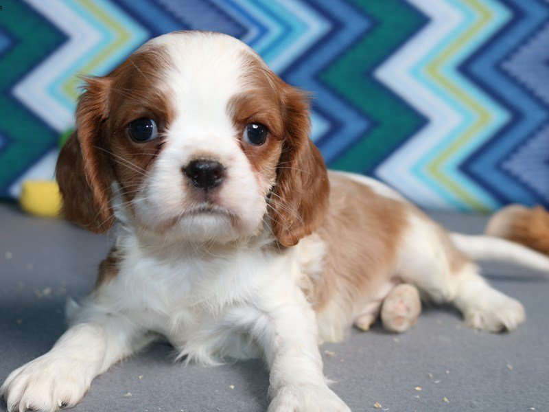 Cavalier King Charles Spaniel Puppies For Sale Near Milwaukee Wi