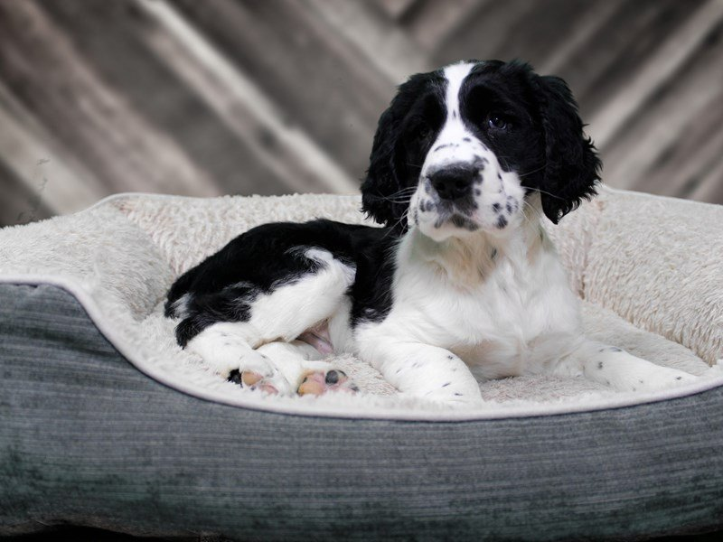 English Springer Spaniel-DOG-Male-Black / White-2265878