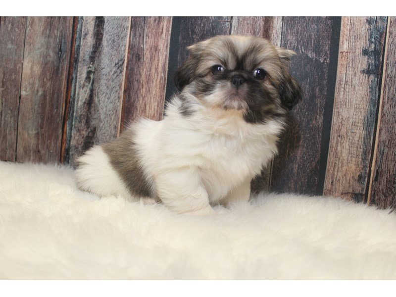 Pekingese-DOG-Male-White / Cream-2368647-Petland Racine, WI