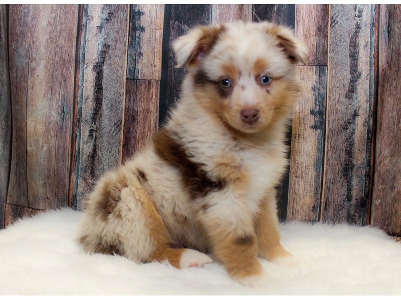 Miniature Australian Shepherd Dog Male