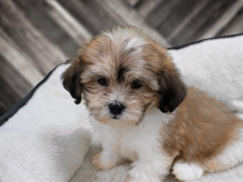 View Ad: Teddy Bear Puppies Dogs For Sale In New York, USA