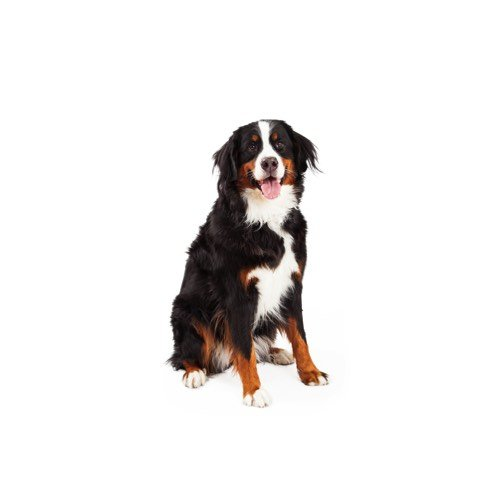 Bernese Mountain Dog Puppies For Sale Breed Info Petland