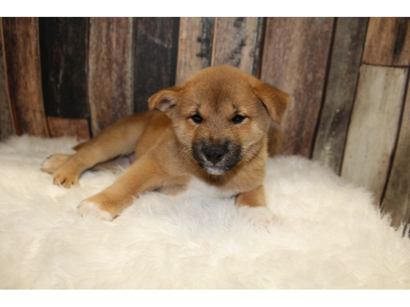 Red Shiba Inu : Red Black Shiba Inu Puppy - petfinder : One famous shiba inu named mari saved her family from an earthquake in 2004 when she woke up her elderly owner trapped beneath a cabinet.